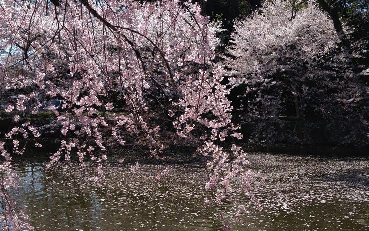 三嶋大社 神池と桜
