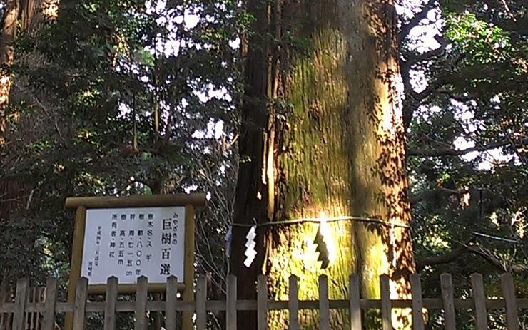 高千穂神社の杉の巨木